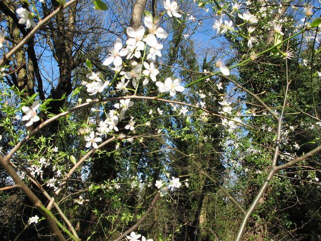 Cherry plum blossom, wood near North Circular