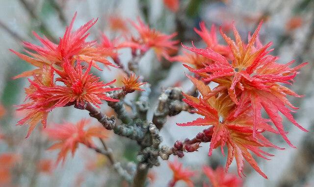 Acer palmatum 'Shishigashira', 1