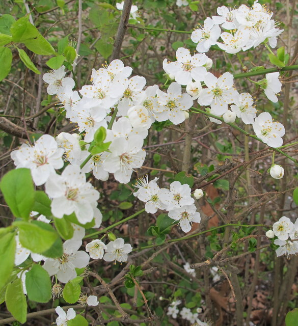 Cherry plum blossom in hedge, West Acton