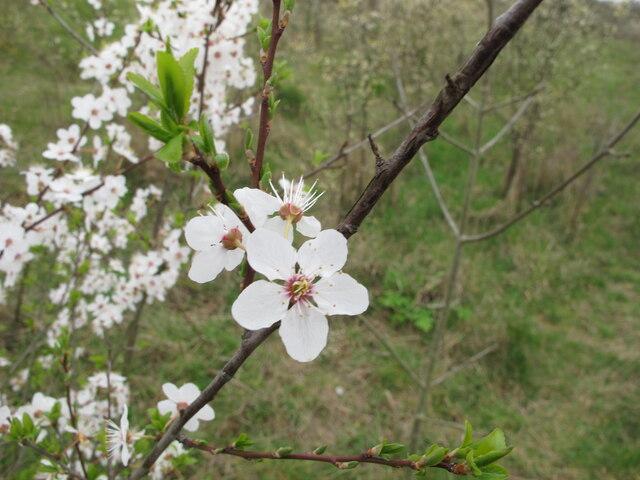 Blackthorn blossom, Wormwood Scrubs