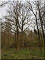 TF0820 : A standard oak by Bob Harvey