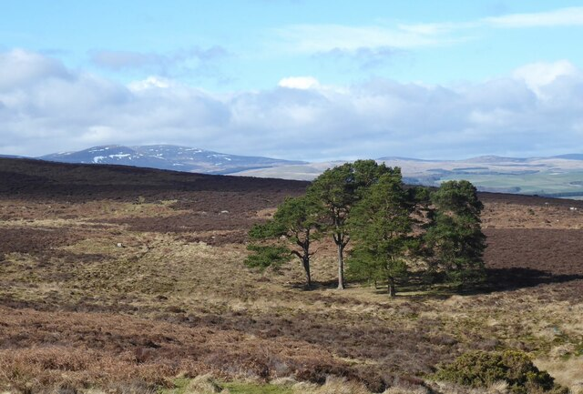 Small forest on Beanley Moor
