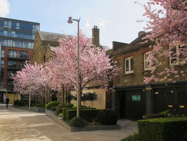 Cherry blossom, Dickens Yard, Ealing
