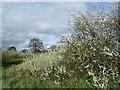 TQ4577 : Blackthorn on East Wickham Open Space by Marathon