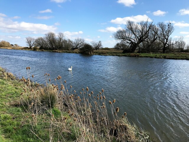 Swan and teasels - The River Great Ouse at Ely