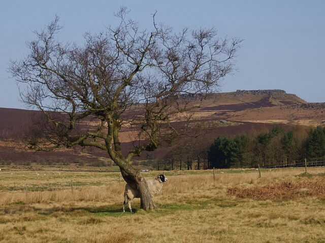 Solitary sheep by a solitary tree