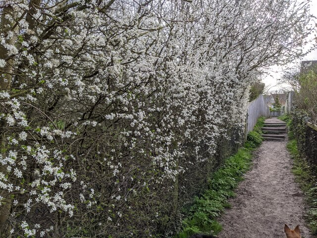 Blossom by the footpath