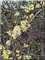 TF0820 : Willow catkins by Bob Harvey