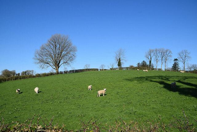 Sheep, Aghingowly