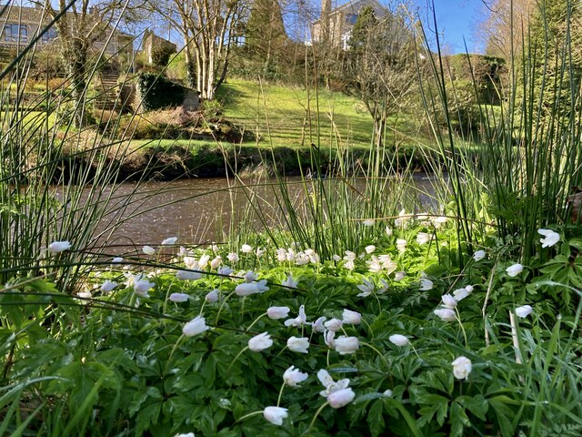 Wood anemones, Mullaghmore