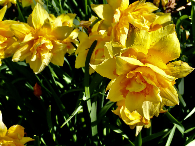 Daffodils in Islands Park