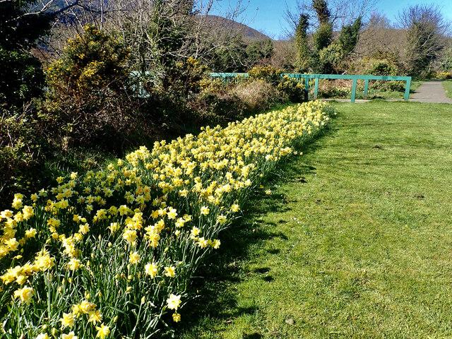 Daffodils on the bank of the Shimna