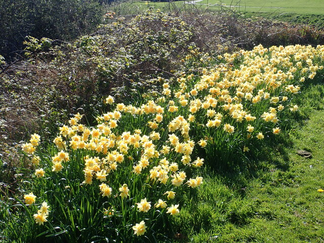 Daffodils at the confluence of the Burren and the Shimna rivers