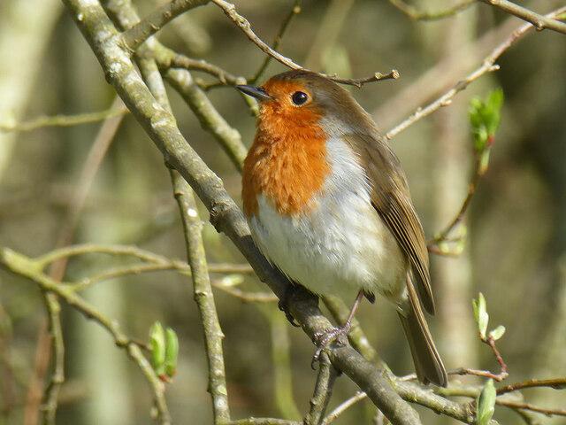 Robin, Campsie