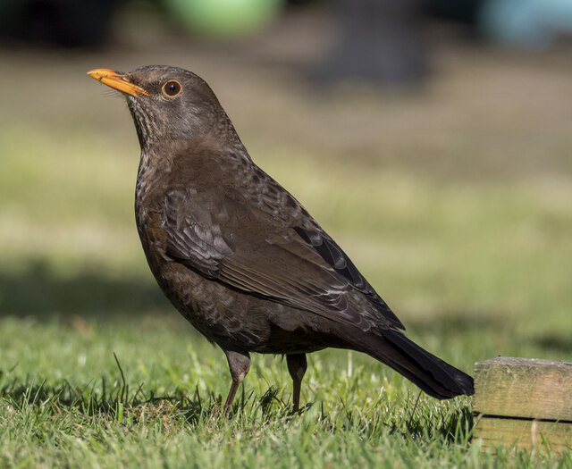 Blackbird, Bangor
