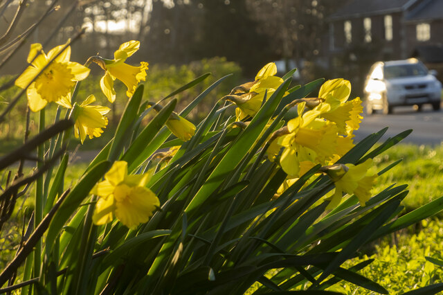 Daffodils by the A40