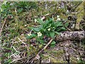 TF0720 : Primula vulgaris by Bob Harvey