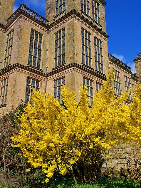Forsythia bush at Hardwick Hall