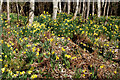 NH6755 : Drifts of daffodils in the woodland of the Rosehaugh Estate by Julian Paren
