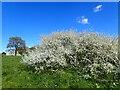 TQ4577 : Blackthorn blossom on East Wickham Open Space by Marathon