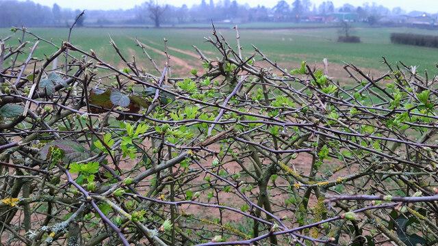Hawthorn bud break, 2021
