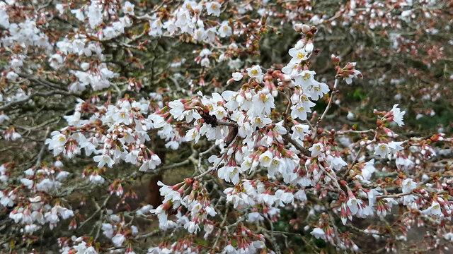 Prunus incisa 'Kojo No Mai'