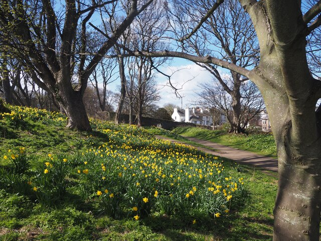 Daffodils in the Lodge Grounds North Berwick