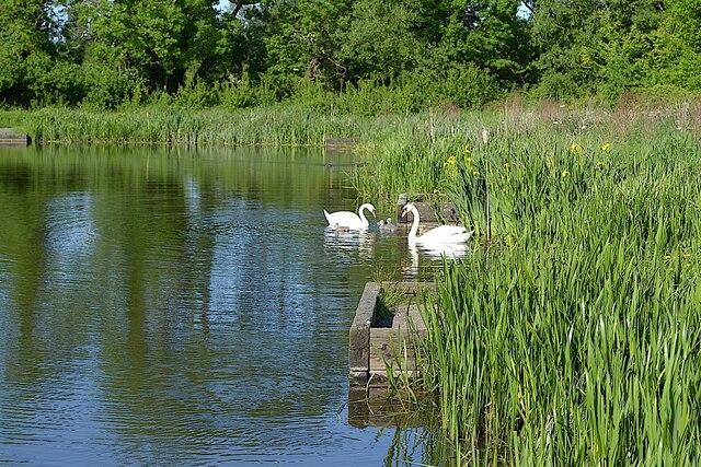 Supervising cygnets, Kingfisher Pool, Myton, Warwick 2013