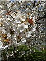 TF0820 : Blossom in suburbia by Bob Harvey