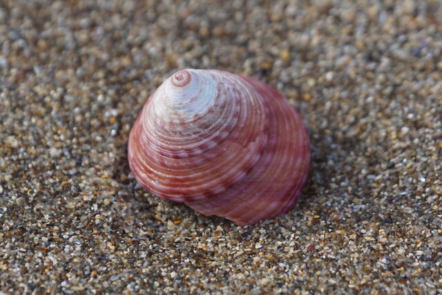 Painted Top Shell (Calliostoma zizyphinum), Norwick
