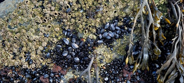 Barnacles and mussels on the Shure Taings, Norwick