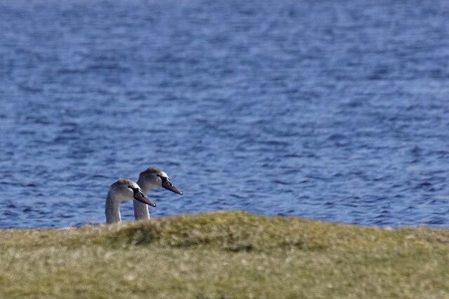 First-summer Mute Swans (Cygnus olor), Loch of Cliff, Burrafirth