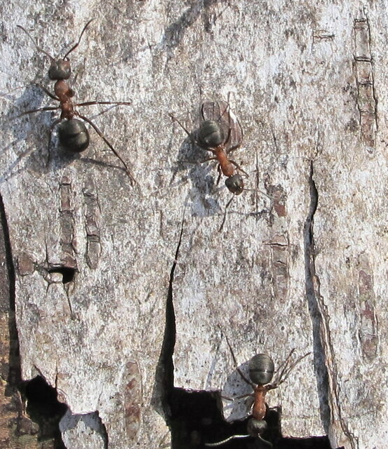 Wood ants on silver birch bark, Egypt Woods