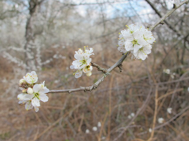 Blackthorn blossom on thorny twig, Egypt Woods