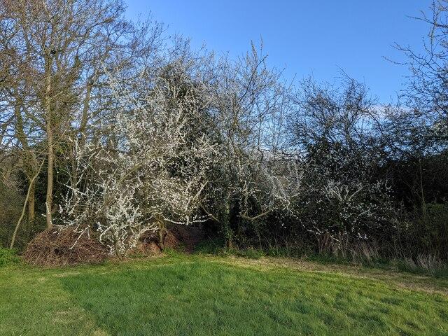 The blackthorn in  my garden