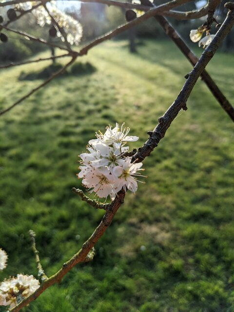 Blossom in a cluster