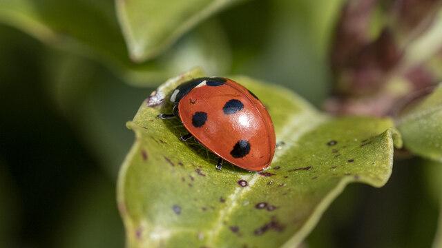 Ladybird, Bangor