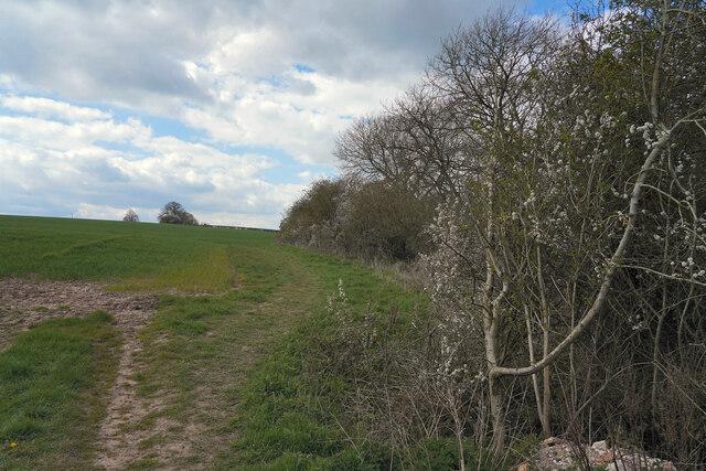 Sloe bushes in blossom