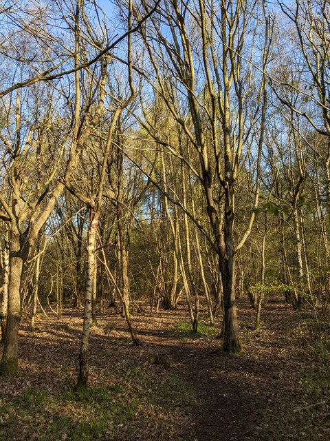 Hazels in a grove
