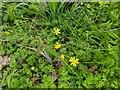 TF0820 : Ficaria verna subsp. verna (formerly Ranunculus ficaria) by Bob Harvey