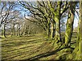 NS7140 : Belts of beech trees above High Kype by Alan O'Dowd