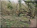 SS8577 : Fallen tree, Cwm y Gaer by eswales