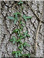 NJ4866 : Ivy on Bark by Anne Burgess