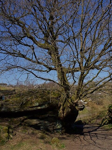 Oak tree growing out of a rock