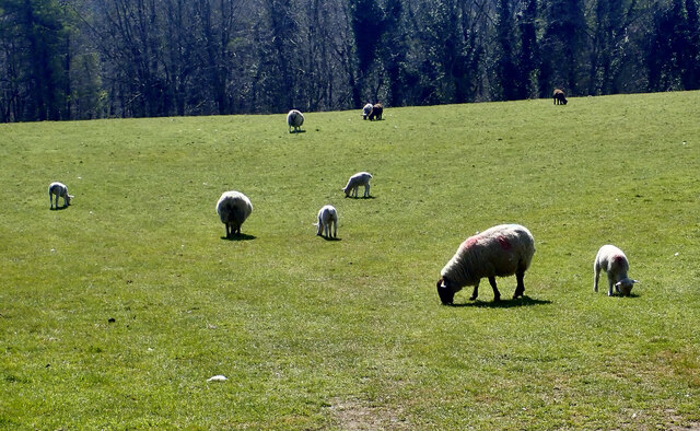 Sheep on grassland at Tollymore