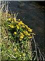 NS5473 : Marsh marigold by Richard Sutcliffe