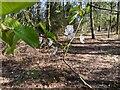 TF0820 : Apple blossom by Bob Harvey
