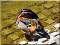 SU1782 : Mandarin duck, Coate Water Country Park, Swindon by Brian Robert Marshall