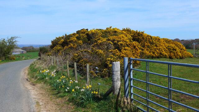 Flowering gorse outside Craigie