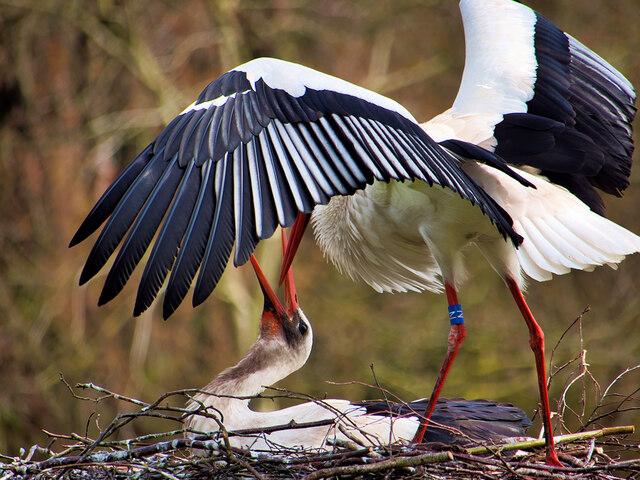 White Storks at the Nest